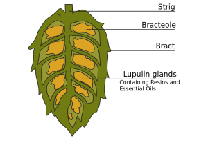 cross-section-of-hop-cone-300x210